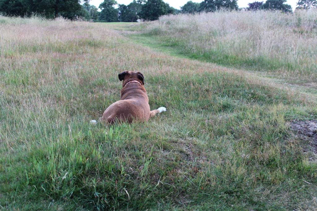 hadleywood_dog